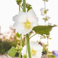Полевые цветы :: Виктория Сам ая