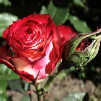 Вечерние розы... :: Тамара (st.tamara)