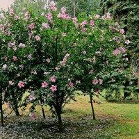 весна для гибискуса :: Людмила