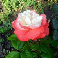 Белая роза в алом наряде! :: Наталья