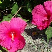 Гибискус садовый :: Нина Бутко