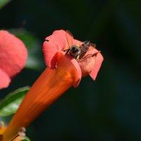 Чуть-чуть о пчёлах... :: Татьяна Кретова