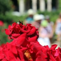 Мохнатый шмель на душистую розу.. :: Анастасия Прокопчук