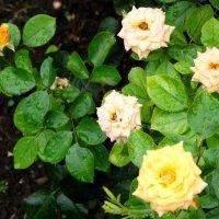 Розочки в дождливый день... :: Тамара (st.tamara)