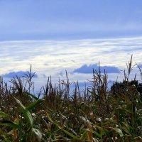 кукуруза, небо... :: Александр Прокудин