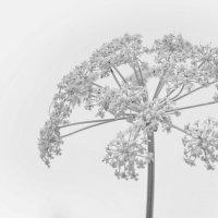 цветы лета :: Юрий Никульников