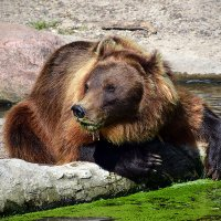 Травоядный медведь :: Ольга Диброва