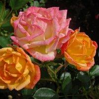 Розы :: Ирина Румянцева