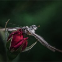 Приземлившись в моем розарии... :: Александр Вивчарик