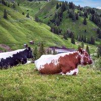 Коровы :: ALLA Melnik