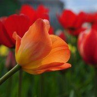 тюльпан :: vg154