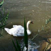 А белый лебедь на пруду качает павшую листву... :: Александр