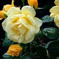 Монастырская роза :: Владимир Бровко