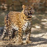 Леопард :: Nn semonov_nn