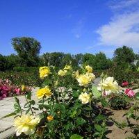 Розы в саду . :: Мила Бовкун