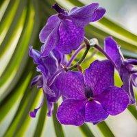 Орхидея ванда синяя :: Ирина Приходько