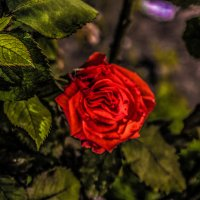 роза :: Александр Альтшулер