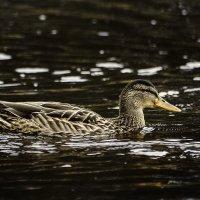Foie gras :: Aleksandr Tishkov