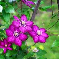 Клематисы в саду :: Любовь Б