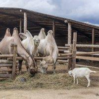 Верблюды в этнопарке :: Вячеслав Касаткин