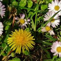 Полевые цветы... :: СветЛана D
