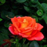 Роза в саду :: Сергей Карачин