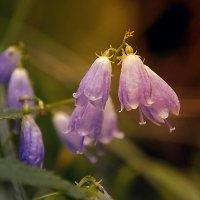 Самые простые-полевые цветы :: Татьяна Титова