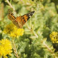 Лето, цветы, бабочка... :: Ирина Рассветная