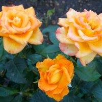 Розы августа... :: Тамара (st.tamara)
