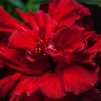 Цветок китайской розы :: Михаил Вандич
