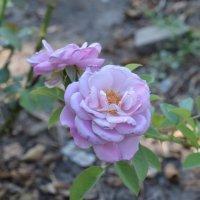 Нежная роза :: Agnivarshi Малтыз