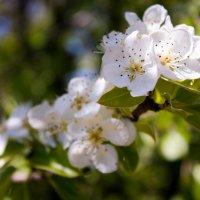 цветущие яблоки :: Андрей