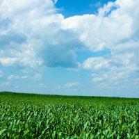 пшеница :: Андрей