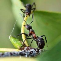 Два  муравья :: Геннадий С.