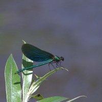 Голубая стрекоза :: Anna S.
