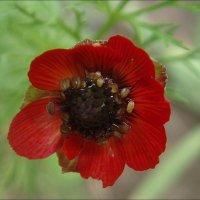 Цветочек аленький :: Нина Корешкова