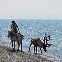 Купание байкальского оленя..) :: Оксана Н