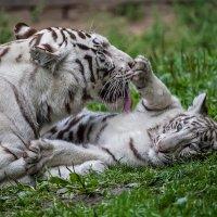 Бегальские тигры :: Владимир Габов