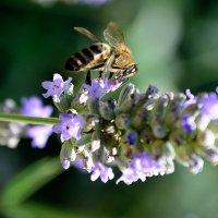 Пчела в трудах :: Александр
