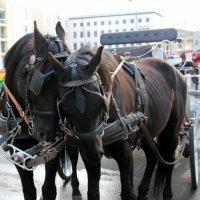 лошадиные нежности:-) :: Olga
