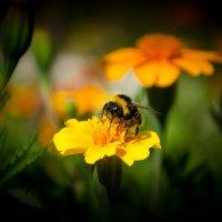 Пчелка :: Сергей Томашев