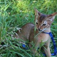 Абиссинский котенок :: Наталья Андреева