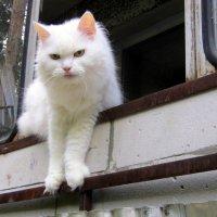Белая кошечка. :: Мила Бовкун