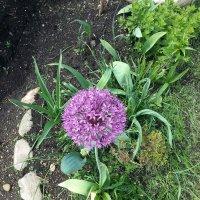 лук в цвету :: Варвара Романова
