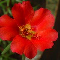 Красный Портулак... :: Тамара (st.tamara)