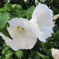 Белые цветы :: Вера Щукина