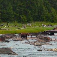 Медведица на реке. Смотрит нет ли рыбки... По реке идёт на нерест горбуша и всякая другая рыба. :: Vladimir 070549