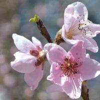 абрикос :: Света Насонова