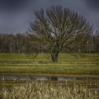 одинокое дерево :: Алексей Жариков