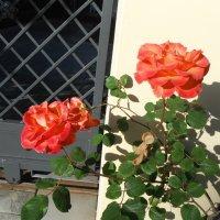 розы :: нина полянская